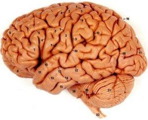 Pungen liknar hjärnan /erviluca