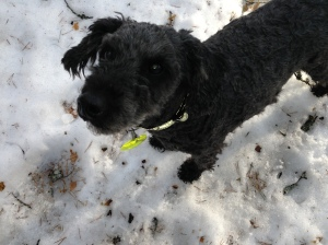 Fiona nyklippt och utebilder hundar mars 2013 010
