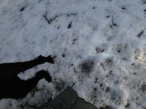Fiona nyklippt och utebilder hundar mars 2013 011
