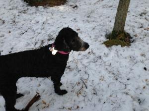 Fiona nyklippt och utebilder hundar mars 2013 024
