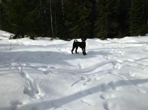 Fiona nyklippt och utebilder hundar mars 2013 035