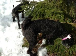 Fiona nyklippt och utebilder hundar mars 2013 042