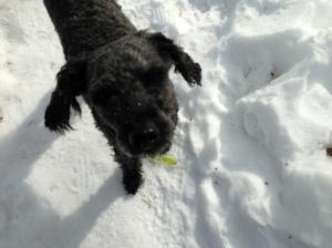 Fiona nyklippt och utebilder hundar mars 2013 043