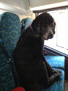 Åka buss med hundar 130617 058