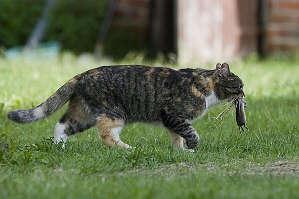 katt med mus
