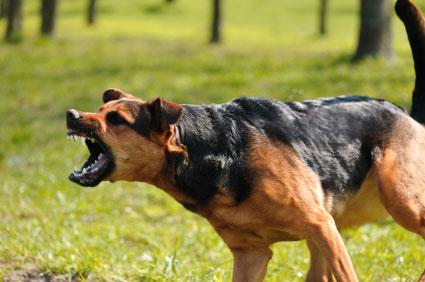 aggressiv hund.jpg