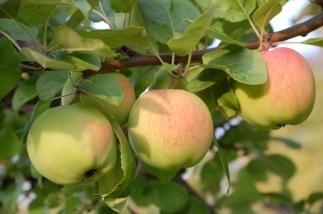äppelträd 3.jpg