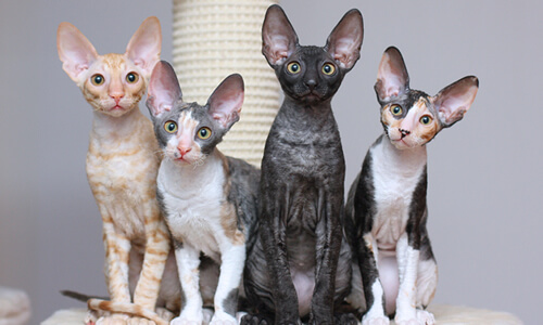 cornish rex Lena L