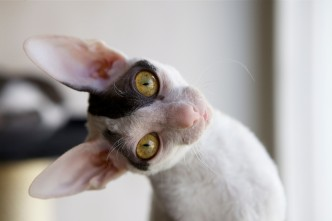 cornish rex Blinka