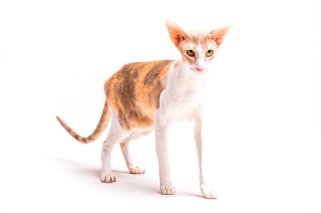 katt cornish rex
